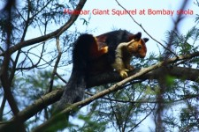 Giant squirrel at Bombay shola